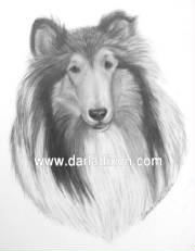 graphite pencil collie black and white drawing