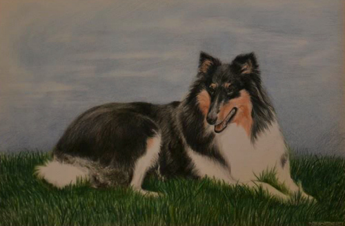 Colored pencil portrait drawing collie sheltie