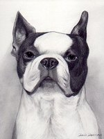 pencil portrait black and white dog boston terrier