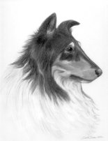 pencil portrait drawing rough collie dog breeds