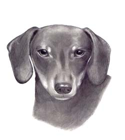 pencil portrait dachshund dachsund dog drawing