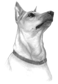 min pin miniature pinscher pencil portrait dog