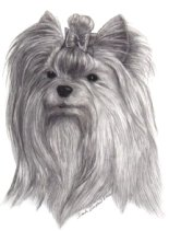 pencil portrait yorkie yorkshire terrier dog