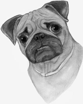 pug-dog-drawing.jpg
