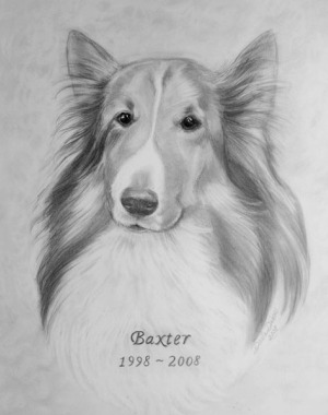 sheltie shetland sheep dog pencil drawing